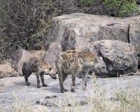 Closeupfrontview av två prickiga hyenor som står på en vagga Arkivfoton