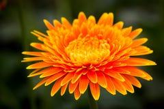 CloseupGerberablomma i trädgården Royaltyfria Foton