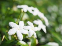 Closeupgrupp av kronbladblomman för vit fem med bokeh Royaltyfria Bilder