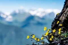 Closeupguling blommar mot bakgrunden av de blåa bergen royaltyfria bilder