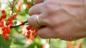 Closeuphänder som väljer frukter av bär för röd vinbär från buskarna i sommarträdgården, skördsäsong arkivfilmer