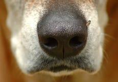 closeuphundnäsa Arkivfoto