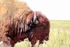 Closeuphuvud av en tjurbuffel som mättar med tungan som ut klibbar i det högväxta gräset Prarie av Oklahoma royaltyfria foton