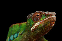Closeuphuvud av panterkameleonten, reptil med den färgrika kroppen som isoleras på svart Royaltyfria Bilder