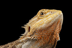 Closeuphuvudet av skäggiga Dragon Llizard, agama, isolerade svart bakgrund Arkivbild