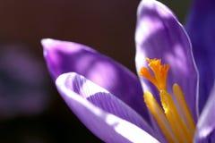 closeupkrokus Royaltyfria Foton