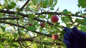 Closeupkvinnlig i blåa förkläde- och arbeta i trädgårdenhandskar som skördar äpplen lager videofilmer