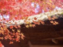 Closeuplönnlöv med bokehbakgrund royaltyfri fotografi