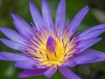 Closeuplilalotusblomma Fotografering för Bildbyråer