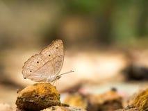 Closeupmakro av fjärilen som äter mat i djungel skönheten av naturen Arkivfoto
