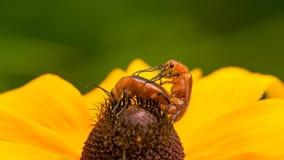 Closeupmakroen av vad jag tror, är nemognathablåsaskalbaggar som parar ihop på en solros i Theodore Wirth Park i Minnesota arkivfoton