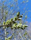 Closeupmakrosikt av trädfilialer för bi som samlar pollen och på våren sitter på den manliga blomman av getpilen eller Salix royaltyfri bild