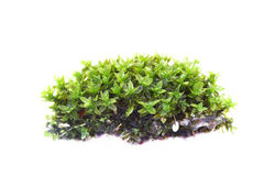 Closeupmoss Royaltyfria Bilder