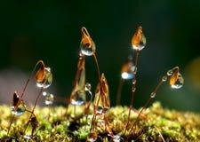 Closeupmossa och solstrålarna i droppar Royaltyfri Bild