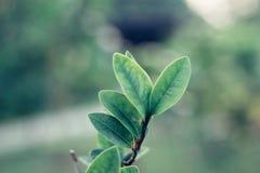 Closeupnatursikt av det gröna bladet Royaltyfria Bilder