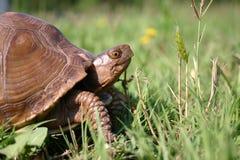 closeupoklahoma sköldpadda Royaltyfri Fotografi