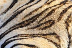 Closeuppälsmodell av den Bengal tigern arkivfoto