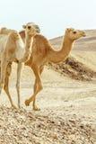 Closeuppar av familjen för två kamel går tillsammans till och med öken Arkivfoto
