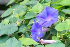 Closeupparet av den purpurfärgade fjärilen Pea Flowers Blooming för skuggning på trädet med gräsplan lämnar bakgrund på hörnet Royaltyfri Fotografi