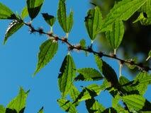 CloseupPic av en filial av tr?det royaltyfri fotografi
