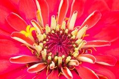 Closeuppollen av den röda blomman, Zinnia Royaltyfria Bilder