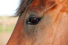 Closeupprofil av en bruna Mare Horse Arkivbild
