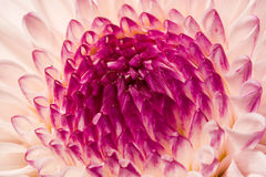 closeuprhododendron Royaltyfri Bild