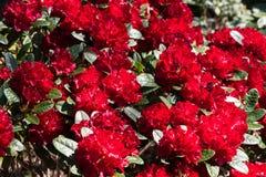 CloseupRohdodendron blom Royaltyfri Bild