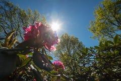 CloseupRohdodendron blom Royaltyfri Foto