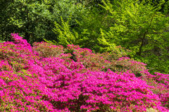 CloseupRohdodendron blom Fotografering för Bildbyråer