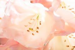 CloseupRohdodendron blom Arkivbilder