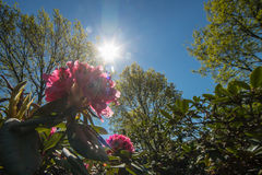 CloseupRohdodendron blom Arkivfoto
