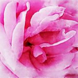 Closeuprosa färger Rose Fine Art royaltyfri illustrationer