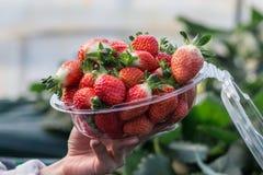 Closeups av en kvinna som rymmer en bunke av nytt plockade jordgubbar fotografering för bildbyråer