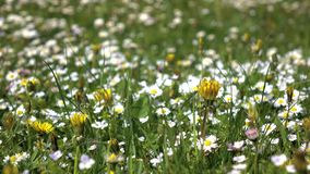Closeups av tusenskönor blommar på fält på solig sommardag lager videofilmer