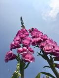 Foxgloves with sky backdrop Royalty Free Stock Photography