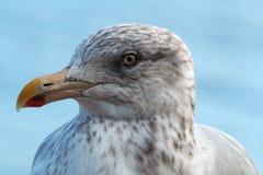 closeupseagull Arkivbilder