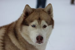 CloseupSiberian Husky Different Eyes Arkivbild