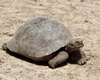 Closeupsideview av att gå för jätteGalapagos sköldpadda Arkivfoto