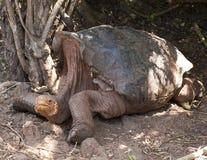 Closeupsideview av den jätteGalapagos sköldpaddan som vilar på jordningen Arkivbild