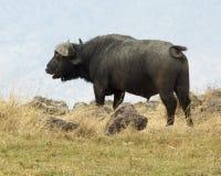 Closeupsideview av en uddebuffel överst av en kulle Arkivfoton