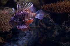 Closeupsikt av den röda lionfishen i Lissabon Oceanarium arkivbild