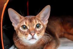 Closeupsikt av en Abyssinian katt royaltyfri fotografi