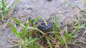 Closeupsikt av en grå svart hornworm som äter gröna sidor i en jordbruksmark arkivfoto