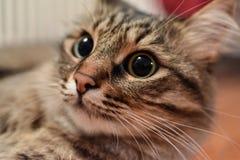 Closeupsikt av en manlig katt med stora elever Royaltyfri Bild