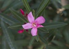 Closeupsikt av en rosa pelargonblom och knoppar Fotografering för Bildbyråer