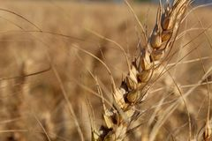 Closeupsikt av ett guld- v?xtvete i en stor lantg?rd p? en solig dag fotografering för bildbyråer