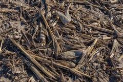 Closeupsikt av postharvest majskolvar för visning för havrefält och brutna stjälk och skal arkivfoto