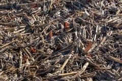 Closeupsikt av postharvest majskolvar för visning för havrefält och brutna stjälk och skal royaltyfri foto