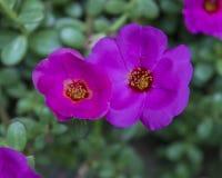 Closeupsikt av purpurfärgade blom för en pelargon Arkivbild
